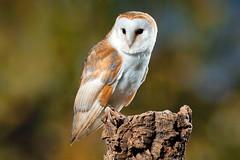 Barn Owl, CaptiveLight, Liberty's Owl, Raptor and Reptile Centre, Hampshire UK (rmk2112rmk) Tags: bird owl barnowl birdofprey hampshireuk raptorandreptilecentre captivelight libertysowlraptorandreptilecentre libertysowl