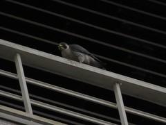 Tom eating Parakeet
