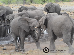 Young Guns (jan-krux photography - thx for 3 Mio+ views) Tags: life africa original wild fauna mammal tiere fight kamps olympus afrika elephants namibia challenge leben frei elefants em1 etoshapan herausforderung saeugetier etoshanationalpark inexplore urspruenglich