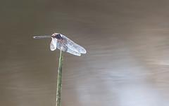 20151109_Shinde_0218.jpg (eLiL1860) Tags: dragonfly botswana okavango tierwelt safari2015