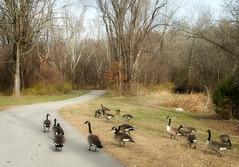 Fellow Travelers (Jayne Reed--trouble uploading!) Tags: trees nature geese wildlife kansas canadageese