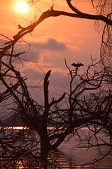 Early Bird (Leela Channer) Tags: morning pink trees orange sun lake bird nature water animal silhouette yellow clouds sunrise island dawn colours purple flood kenya wildlife cormorant creature baringo lakebaringo