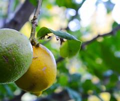 Lemon and Lime © Marie Gantz