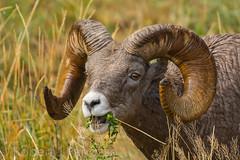 Always eat your greens (ChicagoBob46) Tags: rockymountainbighornsheep bighornsheep sheep yellowstone yellowstonenationalpark nature wildlife