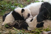TG_Fu-?_8.jpg (mono-foto) Tags: twins groserpanda tgschönbrunn raubtiere zwillinge bären