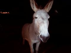 clarkdale burros, january 3 (EllenJo) Tags: donkey burro pentaxqs1 pentax equine animal clarkdaleburros clarkdale arizona az verdevalley 86324 night wandering