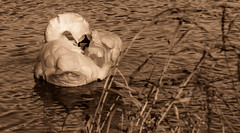 Grooming in gold (Coisroux) Tags: golden glow gracious grooming feathers shine reflection swan definition clarity water pond ripples embankment d5500 nikon dof birdlife nature lonesome