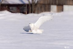 """La campagne!'' Snowy owl (pascaleforest) Tags: owl hibou blanc white snow neige oiseau bird passion nikon nature hiver winter animal québec canada campagne prédateur predator wild wildlife fauna"