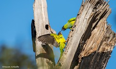 A display of dominance (Photosuze) Tags: parakeets blackhoodedparakeets nandays birds avians aves dispute domination interaction two pair tree wings animals nature wildlife aratinganenday