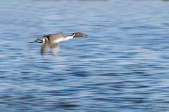 canard pilet (mickeynounet) Tags: pilet canard duck oiseau bird file nikon d7100 anasacuta