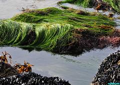 MinusTidePools (mcshots) Tags: usa california socal losangelescounty coast beach lowtide tidepools sealife kelp eelgrass plants seaweed rocks reef ocean sea sand nature travel stock mcshots