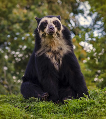 Rare Spectacled or Andean Bear