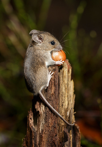 Wood Mouse Atop Stump