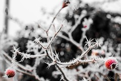 Winter. #winter #stilllife #cold #nature #iced #hiver #blackandwhite #whiteandblack #bnw #wnb (fredericbeaudequin) Tags: winter stilllife cold nature iced hiver blackandwhite whiteandblack bnw wnb