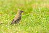 Groen vink / Begijnendijk Belgie (Jul Pitbull) Tags: fuut kuikens bootjegopro bootjeafstandbediening ganzen vliegendeeenden