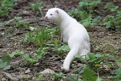 Vison d'Amérique (Passion Animaux & Photos) Tags: mustelide vison amerique american mink parc auxois france