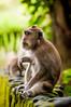 sittin' and thinkin' (Sam Scholes) Tags: sangehmonkeyforest badungregency purabukitsari hinduism hindu travel bukitsaritemple bali palaforest sangeh holymonkeyforest vacation indonesia denpasar moneyforest abiansemal id