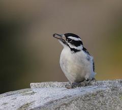 Downy Woodpecker (John Strung) Tags: birds burlington downywoodpecker whitethroatedsparrow woodlandcemetery ontario canada