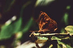 Mariposa (yamircuevas) Tags: mariposa butterfly insecto insectos insect alas macro pozaricadehidalgo veracruz méxico papantla