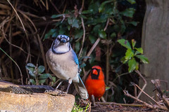 What We don't Know won't Hurt Us (Gabriel FW Koch) Tags: birds animal outside songbird cardinal bluejay wild wildlife water backyard canon sigma telephoto