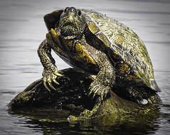 turtle, town lake