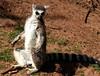 Lemur pictures (Tony Worrall) Tags: cumbria zoo beasts animals wild fun visit tour cumberland park sunlit cute animal collection southlakessafarizoo south lakes safari conservation daltoninfurness dalton lemur beast outdoors furry