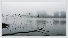 Club Assignment - wide aspect - with a touch of fog (TAC.Photography) Tags: river michiganriver saginawriver seagulls inflight fog foggyriver foggy deadwood driftwood graytone bluegray framed