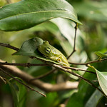 "Hypsiboas crepitans <a style=""margin-left:10px; font-size:0.8em;"" href=""http://www.flickr.com/photos/148015128@N06/32616503795/"" target=""_blank"">@flickr</a>"
