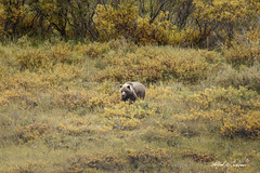 Distant Grizzly_20A7074 (Alfred J. Lockwood Photography) Tags: alfredjlockwood wildlife wildscape mammal bear grizzly brownbear tundra willows summer denalinationalpark alaska
