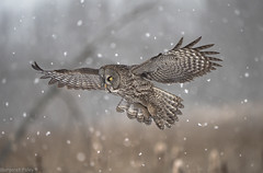 Owls are awesome (montrealmaggie) Tags: owl flight wings winter bird snow