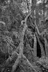 Tannen (Marcel Häusler) Tags: woods wald tod djungel harz
