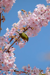 DSCF1634 (naofumitaguchi) Tags: fujifilm xm1 tokyo japan bird メジロ 富士フイルム naofumitaguchi sakura 日本 東京 桜 outdoor 河津桜 カワヅザクラ cherry blossom plant tree pastel mejiro japanese whiteeye flower macro