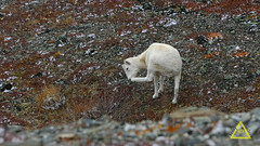 Dall Sheep Leg Itch (jerefolgert) Tags: dall sheep fall snow itch nose leg up lift tripod stretch yoga cute