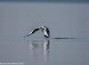 Brown Headed Gull (Chroicocephalus brunnicephalus) (sanjeevdhar) Tags: brownheadedgull chroicocephalusbrunnicephalus bhigwanbirds birdsindia punebirds birdsofsouthindia sanjeevdhar
