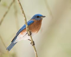 Eastern Bluebird (stephaniepluscht) Tags: alabama 2017 mobile botanical gardens eastern bluebird blue bird bluebirds reflection jeep mirror explore