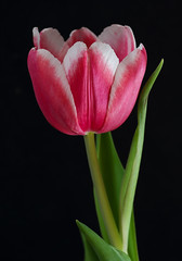 Another One From The Vase (AnyMotion) Tags: tulip tulpe tulipa petals blütenblätter leaves blätter spring frühling primavera printemps 2017 floral flowers frankfurt plants anymotion vase colours colors farben red rot white weis 6d canoneos6d onblack ngc npc