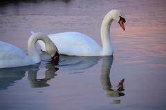 20170117-Canon EOS 750D-0774 (Bartek Rozanski) Tags: stompwijk zuidholland netherlands swan water evening reflection greenheart groenehart nederland holland nature