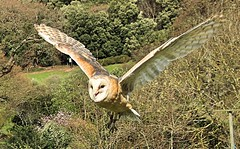 American Barn Owl (Bogger3.) Tags: americanbarnowl allerford exmoornationalpark somerset canon600d canon18x135lens inflight coth5