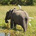 Cattle egret hitches a ride on young male elephant
