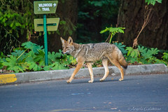 Coyote (C-Brese) Tags: coyote oregon portland wildlife canine forestpark pittockmansion wildwoodtrail cbrese
