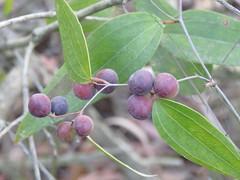 Smilax glyciphylla 8 (barryaceae) Tags: smiths lake new south wales australia sandbar ausrfplant australianrainforestplant australianrainforestplants smilacaceae myall lakes national park nsw