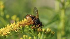 Eine Igelfliege  (Tachina fera) besucht die Blten der Goldrute (Oerliuschi) Tags: outdoor natur blte insekten raupenfliege macroaufnahme igelfliegetachinafera olympusm60 lumixg8