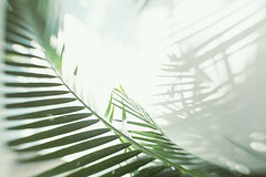 Sweet (Jodie Dobson (Moving Country) is that busy?) Tags: shadow white blur green nature leaves lensbaby canon palms blurry dream palm palmtrees voyeur dreams dreamy highkey fullframe dslr stark canondslr blownout fronds blurs palmfrond palmfronds palmleaves voyeuristic natureart sweetspot artnature radlab blurart canon6d fullframedslr balipalms doubleglassoptic blurryart lensbabycomposerpro composerpro