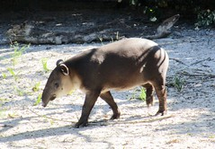 Tapirus bairdii --  Baird's Tapir from Central America 0815 (Tangled Bank) Tags: county beach animal fauna mammal zoo florida south central mother palm american calf tapir bairds bairdii tapirus