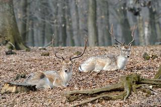 Fallow deer: Dama dama (Explored)