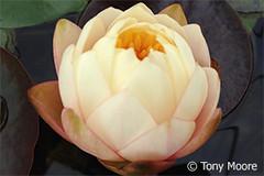 Mae2 (Waterlelie.be) Tags: ohio mae bethel 2012 tonymoore verenigdestatenvanamerika noordamerika nymphaeamae