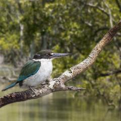 a Collared (now torresian) kingfisher (Fat Burns ☮) Tags: birds fauna mangroves australianbirds australianfauna todiramphuschloris mangrovekingfisher collardkingfisher mangrovehabitat nikond750 sigma150600mmf563dgoshsmsports sigmateleconvtc1401nik nudgeemangroveboardwalk