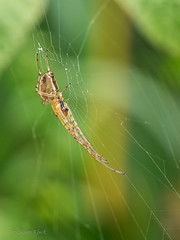 Herbstspinne (Metellina segmentata) Mnnchen (AchimOWL) Tags: macro nature animals insect tiere spider outdoor wildlife natur spinne makro insekt tier gm1