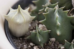 Huernia Barbata (Harry-Harms) Tags: africa succulent carrionflower huernia aasbloem