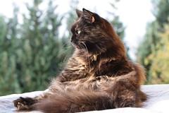 """Don't disturb my washing!"" (Vasquezz) Tags: cat katze siberian siberiancat sibirische  zarah forestcat coth waldkatze fantasticnature kittysuperstar bestofcats kittyschoice sibirisch sibirischekatze  catmoments alittlebeauty hellopussycat  coth5 vg~catsgallery sunrays5"